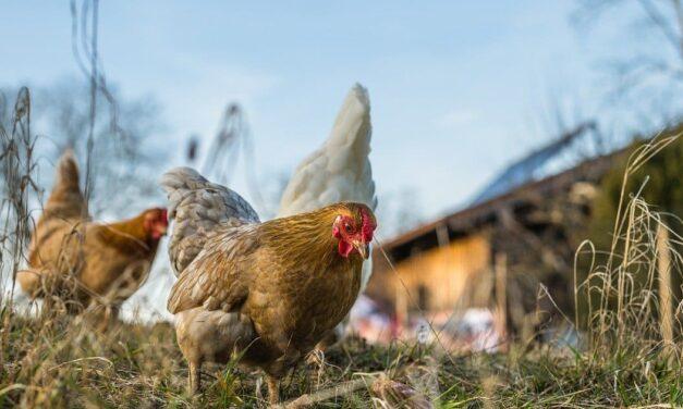 End the Cage Age: l'UE si avvicina all'abolizione delle gabbie negli allevamenti